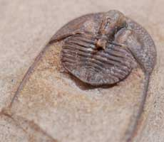 click here for more details of this onnia trilobite